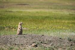 Watchful black-tailed Prairie Dog from Canada