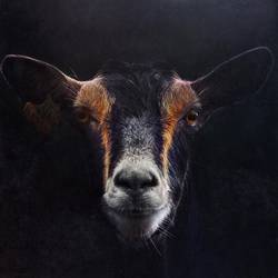 elegant black goat portrait in the nature