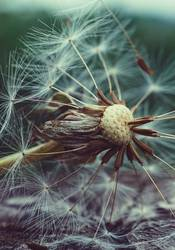 dandelion flower plant in summer in the nature