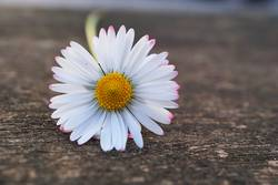 white daisy flower in the nature in summer