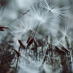 dandelion flowers seed