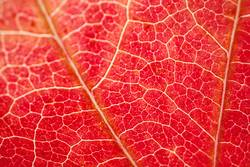 red leaf textured with autumn colors in autumn season
