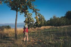Kleiner Junge in Lederhosen pflückt Äpfel