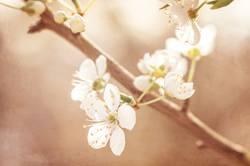 Kirschblüten am Zweig
