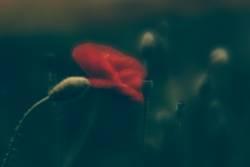 Roter Mohn in einer dunklen Wiese