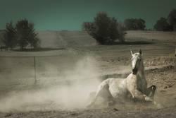 Weißes Pferd wälzt sich im Staub