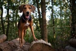 Hund steht auf Holzstapel im Wald