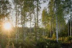 Abendsonnenschein im Birkenwald