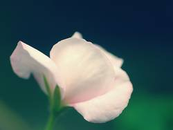 Feenblüte