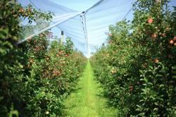 Apfelfeld / Apfelplantage