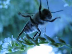 Blaue Biene hebt ab
