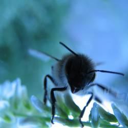 Blaue Biene hebt gleich ab
