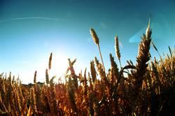 Corn of Wheat
