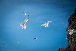 gull feeding