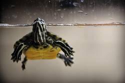 schmuckschildkröte 1
