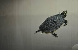 schmuckschildkröte 2