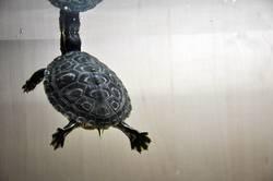 schmuckschildkröte 3