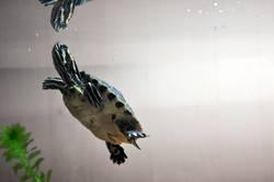 schmuckschildkröte 4