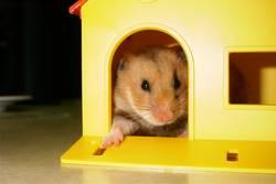 Hamster posiert
