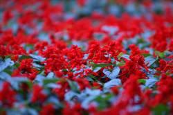 (Un)scharfe Blumen