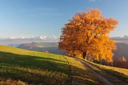 Goldener Herbstbaum mit Alpen