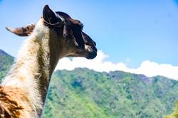 This little llama in the ruins of Machu Picchu