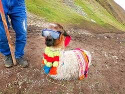 View of a funny alpaca with sunglasses around Rainbow Mountain