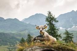 eine Kuh thront vor alpinem Hintergrund