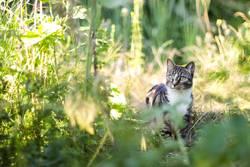 Hauskatze in der Wildnis