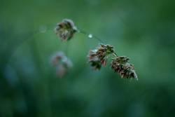 Graswipfel