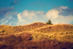 Kiefer im Dünenland