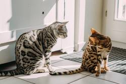 My two Bengals