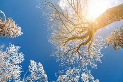 Baumkronen im Winterwald