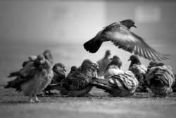 Eine flog übers Taubenfest