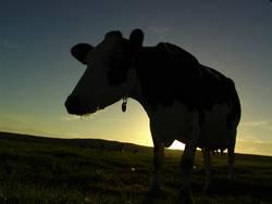 Kuh am Abend