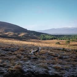 Rentier in den Highlands