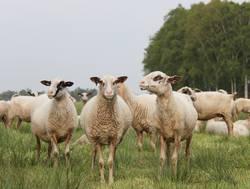 Schafe im Moor