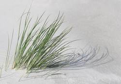 luftig | Dünengras im Wind
