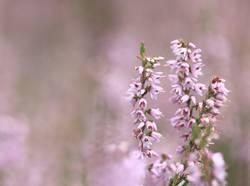 die Heide blüht....