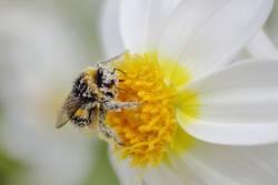 kleiner Pollentransporter | wertvoll