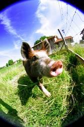 Fisheye-Pig