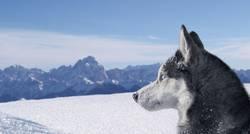 Siberian husky Blake