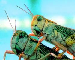 heuschrecken hoppers