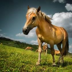 Pferdchen.
