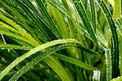 Chlorophyll auf Eis