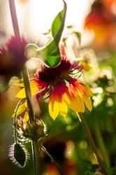 Kokardenblume (für willma...)