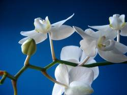 fresh orchid 01