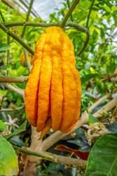 fingered citron fruit