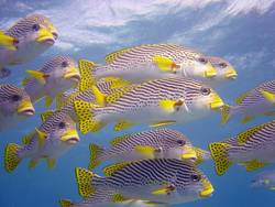 yellow fish swarm