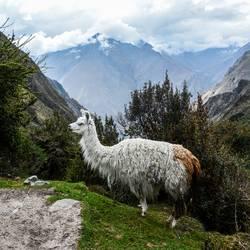 Lama's Lama